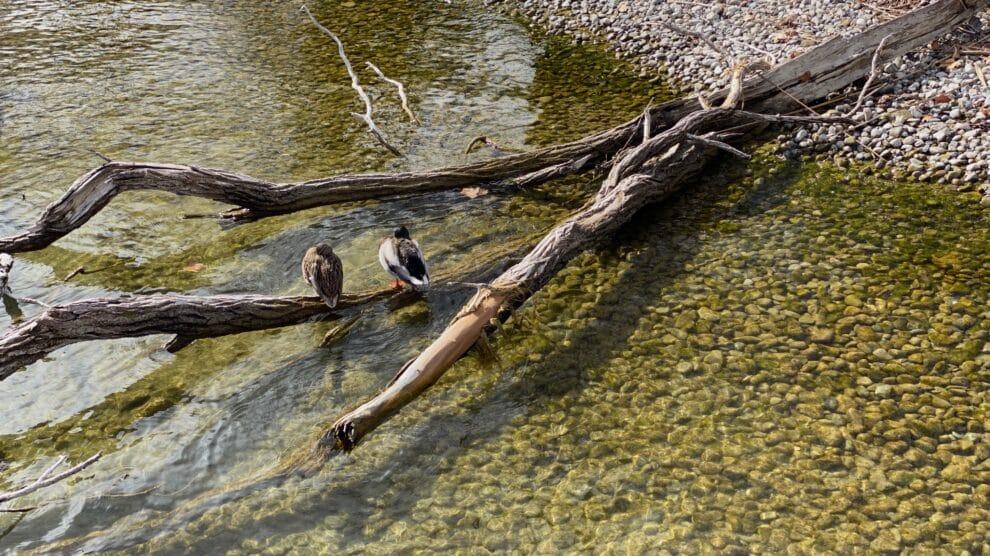 Ducks Lake of Zurich
